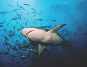 Lemon Shark by Brigitte Dewhirst