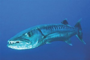 Large barracuda are prone to giving  Ciguatera