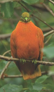 Orange Dove by Joerg Kretzschmar (NatureFiji-MareqetiViti)